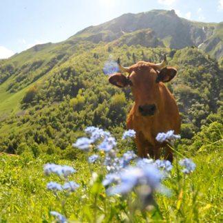 Cow's milk cheese